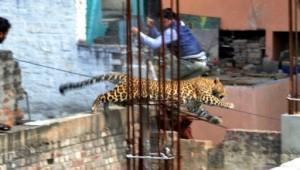 leopard afp
