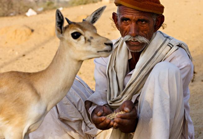 Bishnois et gazelle