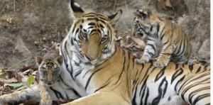 Bengal tiger - India.