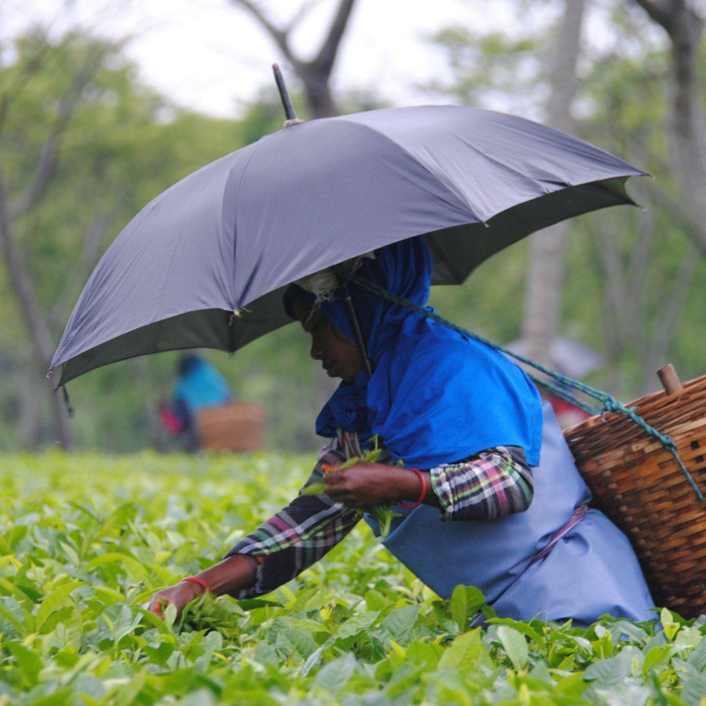Récolte des feuilles de thé dans la plantation Korangani