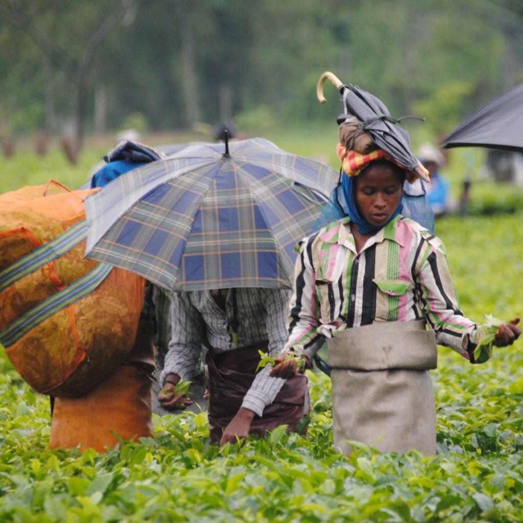 Récolte de thé Korangani